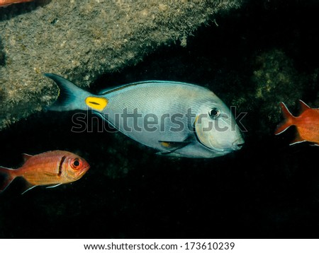 Acanthurus monroviae (Surgeonfish) - stock photo
