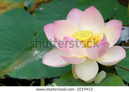 According to Hinduism, the lotus is the foremost symbol of beauty, prosperity and fertility. - stock photo