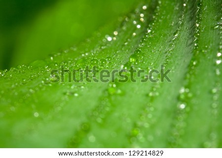 Accumulation of drops of water on a leave of a banana plant (close-up) - stock photo