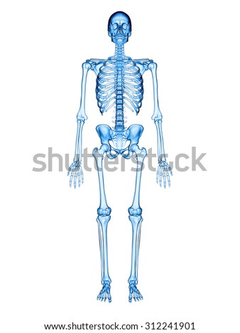 accurate medical illustration of the human skeleton
