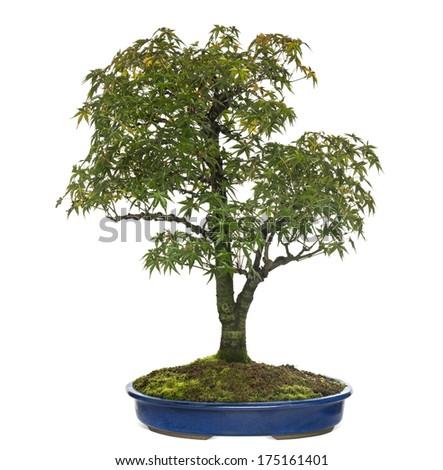 Acer bonsai tree, isolated on white - stock photo
