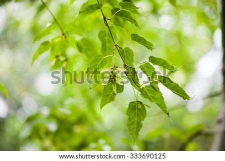 Acer kawakamii (kawakamii maple) - leaves and details