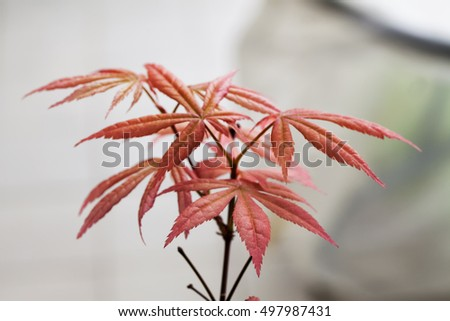 Acer palmatum in close up, horizontal image