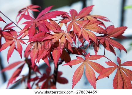 Acer palmatum red leaves over lite background, horizontal image - stock photo