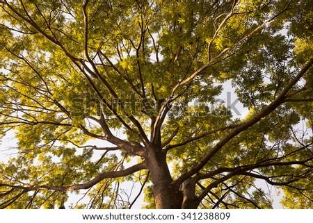 Acer platanoides - stock photo