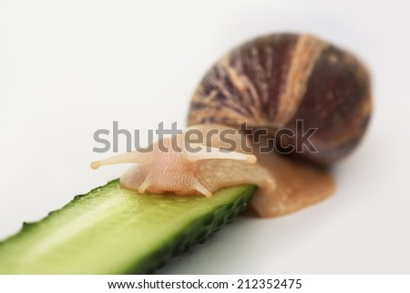 Achatina/Giant snail Achatina is eating cucumber - stock photo