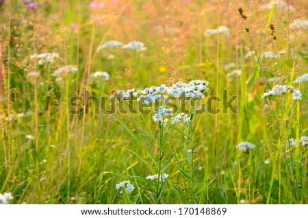 Achillea cartilaginea flowers on meadow - stock photo