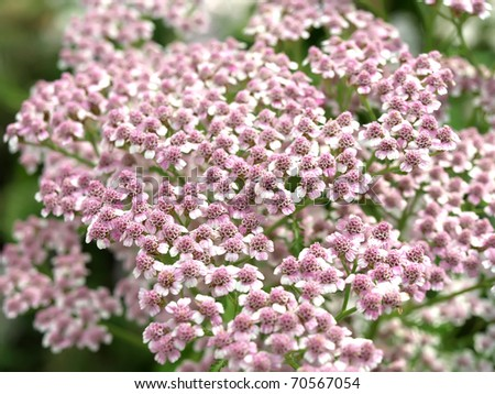 achillea millefolium flower - stock photo