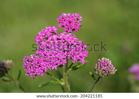 Achillea millefolium, known commonly as yarrow. Wildflower - stock photo