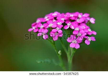 Achillea Millefolium 'Ortel's Rose (Common Yarrow) Horizontal With Copy Space - stock photo