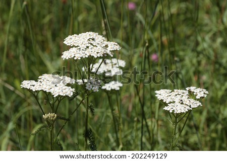 Achillea millefolium. Yarrow. - stock photo