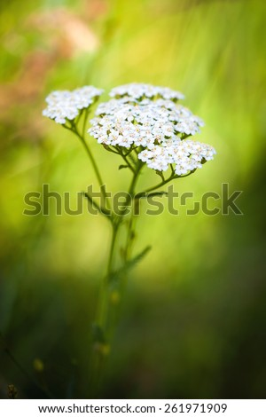Achillea millefolium (yarrow) white wild flower on green meadow - stock photo