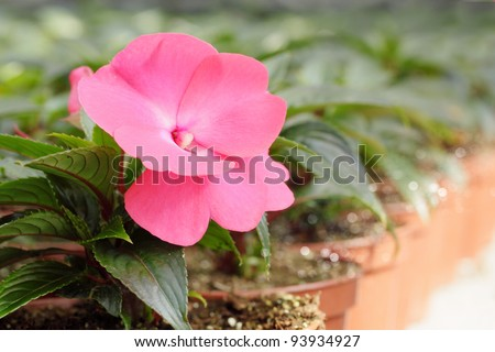 Achimenes room flower is grown in the hot-house - stock photo