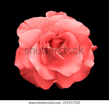 Acid rose rose flower macro isolated on black - stock photo
