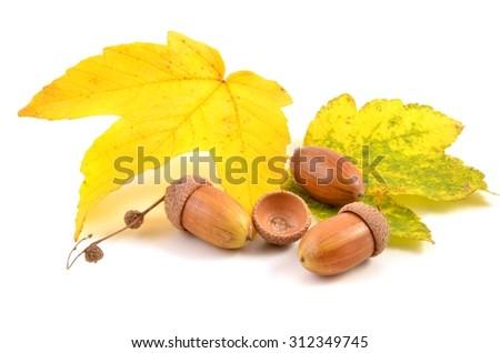 Acorn. Acorn and autumn leaves. Acorn isolated on white. Acorn on white background. Acorn  nuts, acorn fruits . - stock photo