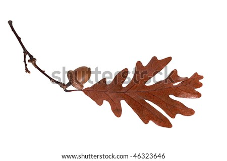 Acorn and oak leaf on branch isolated on white - stock photo