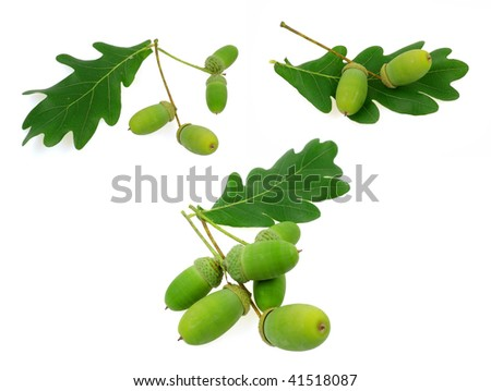 acorn oak set - stock photo