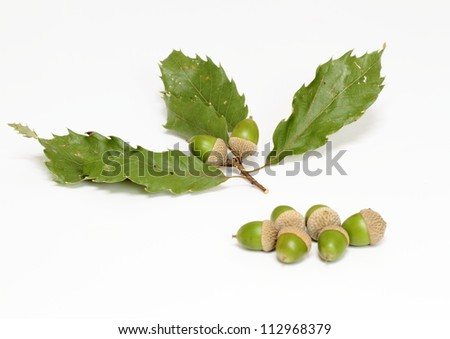 Acorn of the co-Japanese oak - stock photo