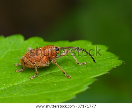 acorn weevil on leaf - stock photo
