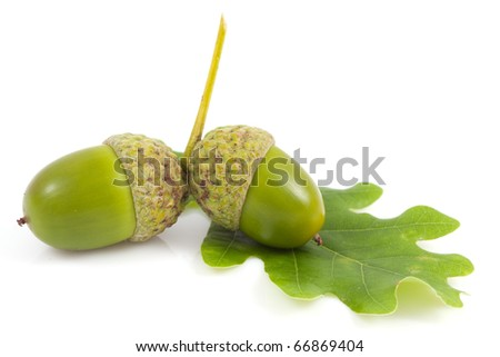 Acorn with an oak leaf on isolated - stock photo