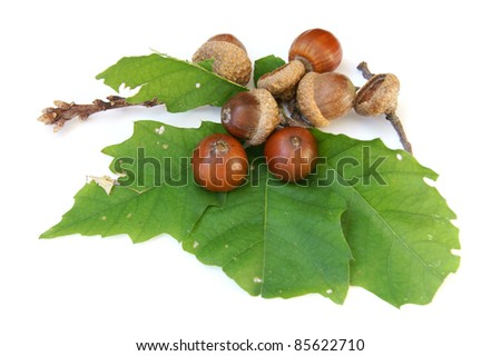 Acorn with leaves - isolated on white - stock photo
