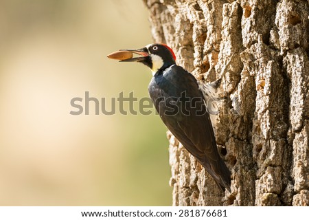 Acorn Woodpecker - stock photo