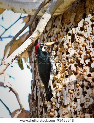 Acorn Woodpecker on a tree in California - stock photo