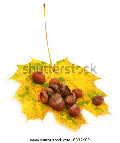 acorns and maple leaf against white background, gentle shadow underneath