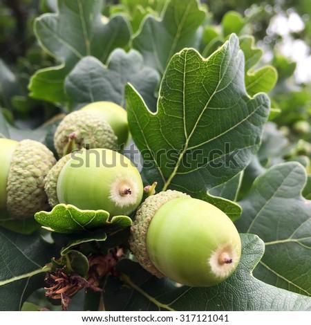 Acorns handing on oak tree - stock photo