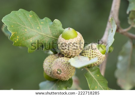 acorns in the tree surrounded by nature - stock photo