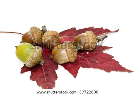 Acorns lying on the maple leaf on a white background.