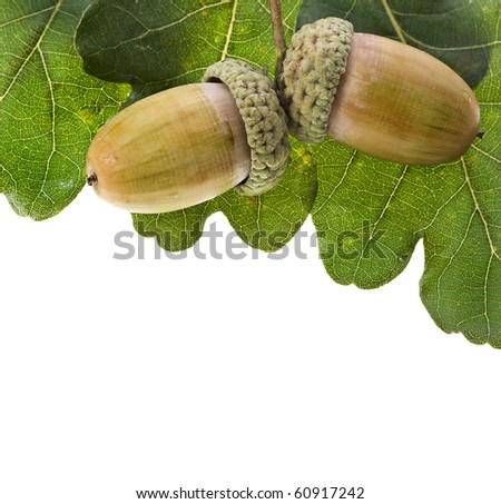 acorns oak isolated on white - stock photo