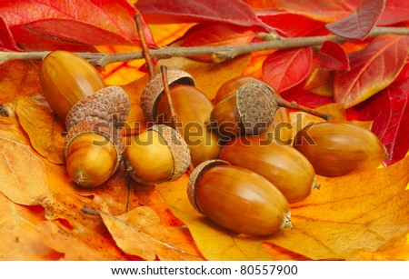 acorns on fall leafs, colorful background - stock photo