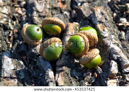 Acorns on oak bark in the woods on a sunny day - stock photo