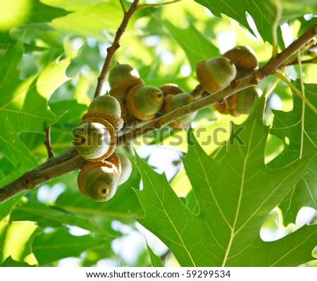 acorns on the tree - stock photo