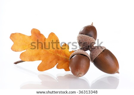 Acorns with an oak leaves