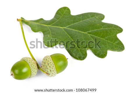 acorns with leave - stock photo
