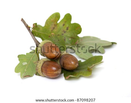 acorns with oak leafs isolated on white - stock photo