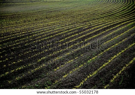 Acre with rows of young plants - stock photo