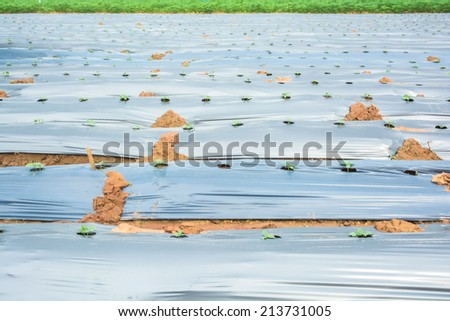Acres of cucumbers grown in rows with plastic mulching - stock photo