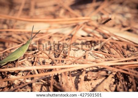 Acrida willemsei grasshopper in Tropical forest  - stock photo