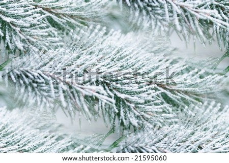 "acrocona norwegian spruce branches with a touch of ""snow"""