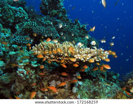 Acropora table coral with orange anthias and green damselfish
