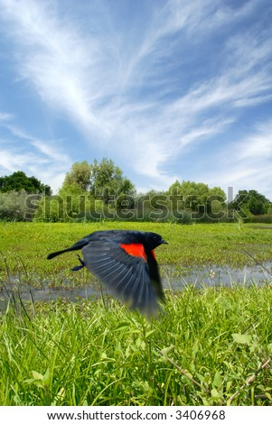 Action Blur of Red Wing Blackbird in Flight over Pond, Consumnes River Wildlife Preserve, California - stock photo