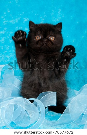 Action image of playful black Exotic kitten on blue background with ribbon - stock photo