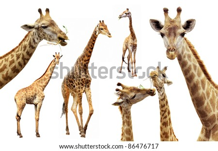 Action of the giraffe females and males isolated - stock photo