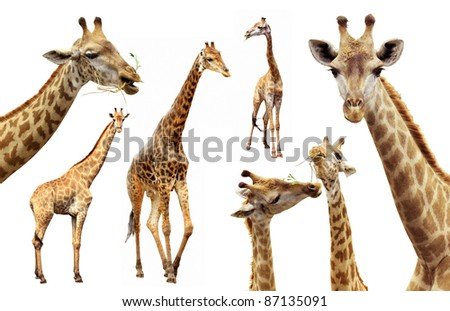 Action of the giraffe females and males isolated on white background - stock photo