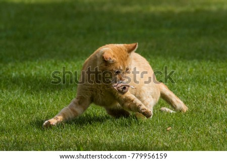 Action photo of a wonderful rusty cat in a dynamic play. Felis silvestris catus