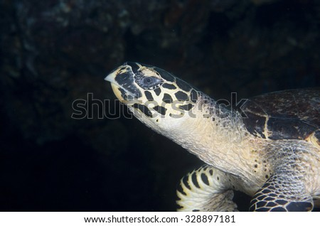 Action shot of the face of a critically endangered but curious Hawksbill sea Turtle (Eretmochelys imbricata) swimming down the side of deep healthy tropical coral reef at the Musandam region of Oman  - stock photo