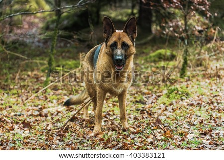 Active German shepherd dog outdoor in forest. Full body portrait, working dog, purebred. - stock photo